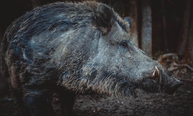 Wildschweine breiten sich aus
